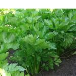 Сельдерей листовой (фото)