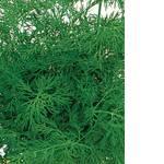 Семена укроп Амброзия (фото)