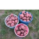 Сорт картофель Алладин  (фото)