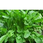 Семена щавеля (фото)