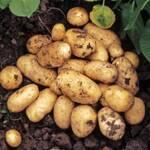 Картофель Мелодия оптом  (фото)