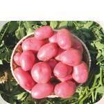 Картофель Лабелла  (фото)