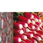 Дражоване насіння на стрічці Редис 18 днів (фото)