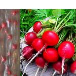 Дражоване насіння на стрічці Редис Сора (фото)