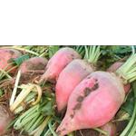 Буряк кормовий Київський рожевий (фото)