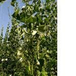 Большая фасоль для выращивания (фото)