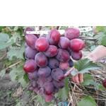 Саженцы винограда Эверест (фото)