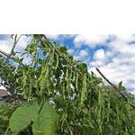 Фасоль сортовая (фото)