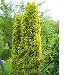 Туя западная Ауресценс Aurescens (фото)