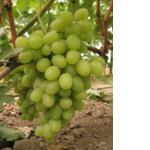 Саженцы винограда Катруся (фото)