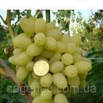 Саженцы винограда Зарница (фото)