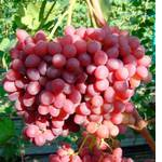 Саженцы винограда Розмус (фото)