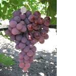 Саженцы винограда Лада-Т (фото)