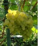 Черенки винограда Гелиодор (фото)