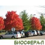 Клён красный Ред Сансет Acer rubrum Red Sanset (фото)