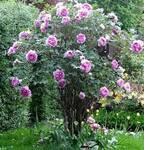 Півонія деревоподібна Рожева (фото)