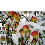 Зимові сорти яблук (фото)