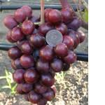 Саженцы винограда Подарок Несветая (фото)