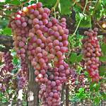 Саженцы винограда Велес (фото)