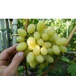 Черенки винограда Ландыш (фото)