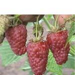 Саженцы малины Краса России (фото)