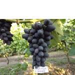 Саженцы винограда Надежда Ранняя (фото)
