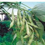 Сортовая фасоль (фото)