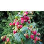 Саженцы малины Полана (фото)