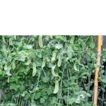 Вирощування гороху в Україні (фото)