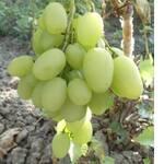 Cаженцы винограда Илария (фото)
