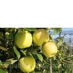 Яблуня Голден Делішес Дворічна (фото)