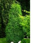 Можжевельник вертикальный питомник в Украине (фото)