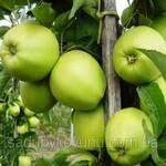 Саджанці яблуні дворічної (фото)