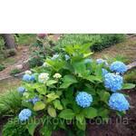 Гортензія Blue Heaven (фото)