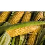 Хороший сорт кукурузы (фото)