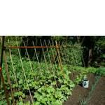 Фасоль семена (фото)