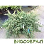 Можжевельник средний Компакта Juniperus Pfitzeriana Compacta (фото)