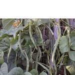 Как выращивать фасоль (фото)