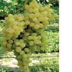 Саженцы винограда Володар (фото)
