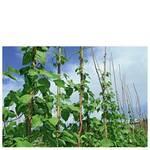 Фасоль выращивание (фото)