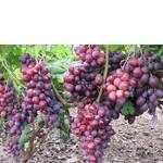 Саженцы винограда Заря Несветая (фото)