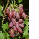 Саженцы винограда Дубовский (фото)