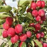 Яблуня Райка саджанці (фото)