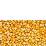 Зерно кукурудзи в наявності (фото)