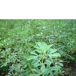 Гуньба рослини (фото)