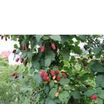 Саджанці ожиномалини букінгем тайбері купити недорого (фото)