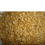 Пшениця (фото)