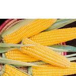 Кукурудза купити в Україні (фото)