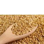 Пшениця 4 клас (фото)