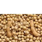 Соя ГМО (фото)